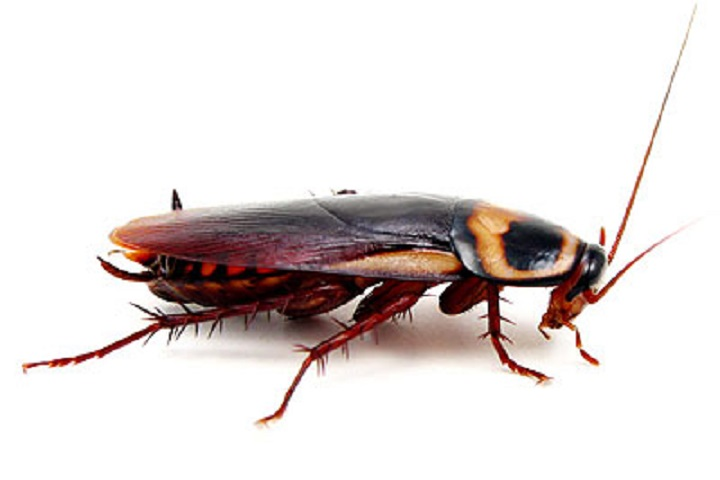 د سور مېړنی نظریه  Or cockroach theory